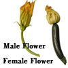 Choosing male from female zucchini flowers